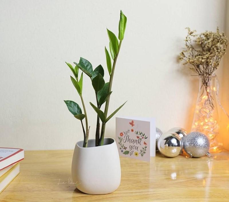 Cây Kim Tiền - Cây trồng trong nhà xanh mát không cần ánh sáng mặt trời