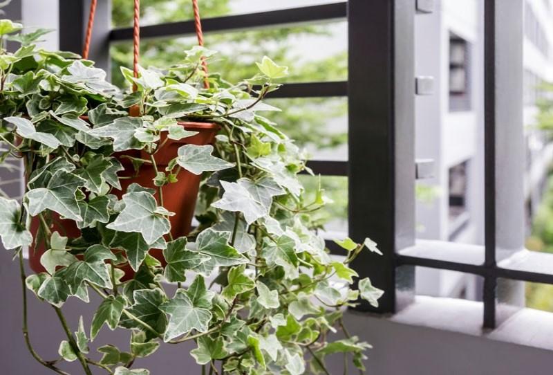 Cây trồng trong nhà không cần ánh sáng - Cây Thường Xuân