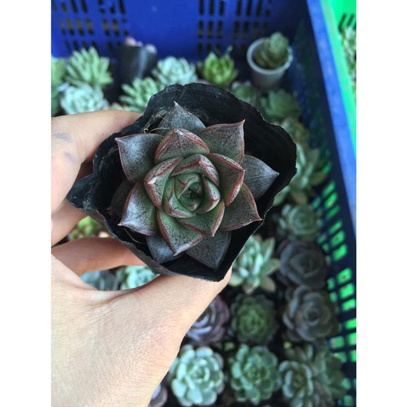 Cây sen đá hoa hồng đen