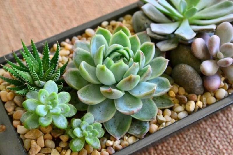 Cây sen thạch bích không cần ánh sáng khi trồng trong nhà