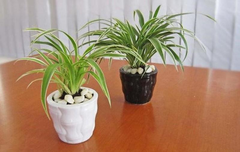 Cỏ Lan Chi cây cảnh trồng trong nhà không cần ánh sáng