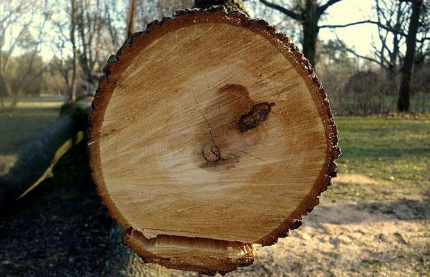 Gỗ Pơ Mu là gỗ gì?