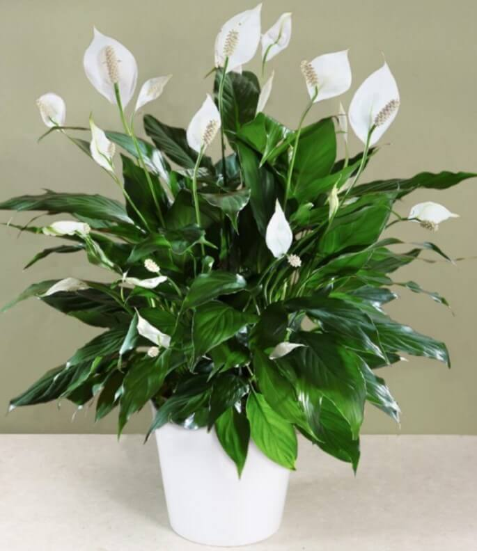 Lan ý - Loài hoa trồng trong nhà phổ biến nhất hiện nay