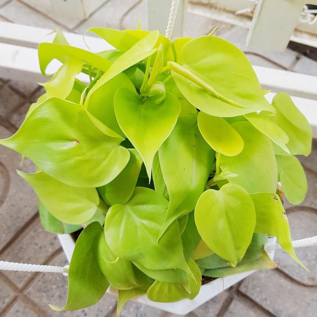 Trầu bà vàng là loại cây trồng trong nhà không cần ánh sáng và có thể trồng cả trong nước